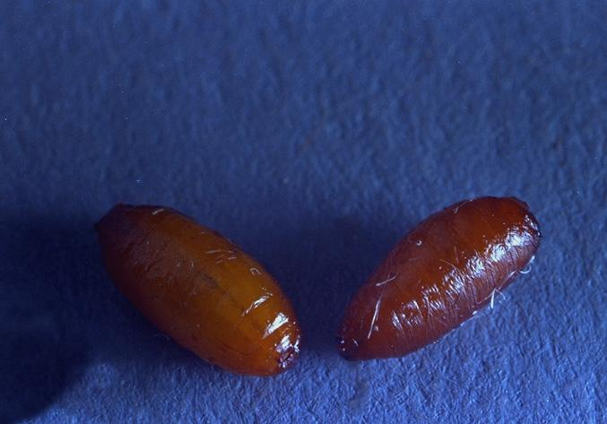 Larvae emerge from fruit, drop to the soil and pupate under debris and in
