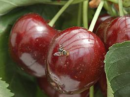 Cherry Fruit Fly Hosts Western