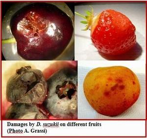 Many fruits are hosts of spottedwing drosophila Question: How important are the