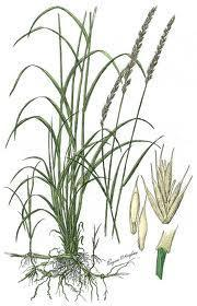 Characteristics Grass has prominent nodes on the stems Often branches near the base and produces multiple stems that are erect to ascending Grows 2 to 2 1/2 tall Grows from rhizomes Clump-forming