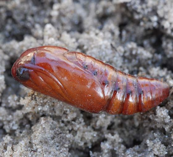 Pupa Pupation normally takes place in the soil at a depth of 2-8 cm. The pupa is reddish brown in color.