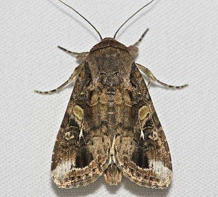 Adult The adult moths have a wingspan of 32 to 40 mm Males have dark gray and brown shaded mottled forewings with conspicuous triangular white spots at the tip and near the center of the wing The