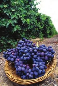 It s Grape to Live in NY! New York is ranked 3rd in grape production nationwide, behind California and Washington. In 2005, the grape crop was worth $34.3 million dollars.