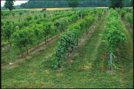 Many of New York s vineyards are in the Finger Lakes region, near Lake Erie, in the Hudson valley and on the eastern end of Long Island.