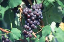 grapes) or if they are meant for
