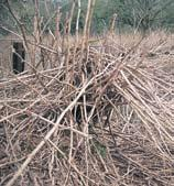 The hybrid (Fallopia x bohemica) (a cross between Japanese knotweed and giant knotweed) is also found throughout the UK but is not as common as Japanese knotweed.