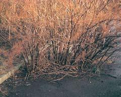 6.2 Duty of care for hauliers Before accepting waste material for transfer off site you must inspect it for Japanese knotweed contamination unless you know it is present already.