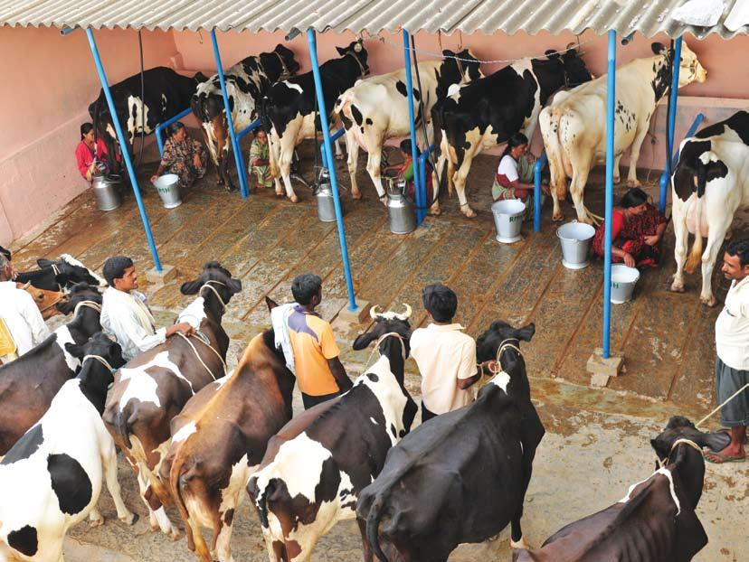 Part IV : Milk Production The Integrated Sample Survey report for 2012-13 highlights that the bovine milk production system in Karnataka is predominantly cattle based.