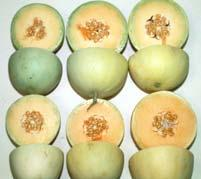 splits when cut; minimum commercial harvest maturity Class : Mature, Ripening Ground color white; begins to develop surface wax; pulp crisp, melon