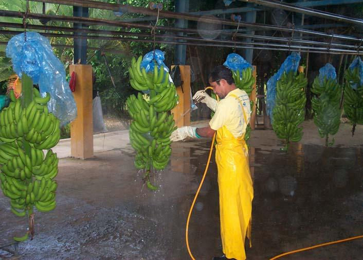 Delivering Bananas to Packinghouse Initial Washing of Bananas at