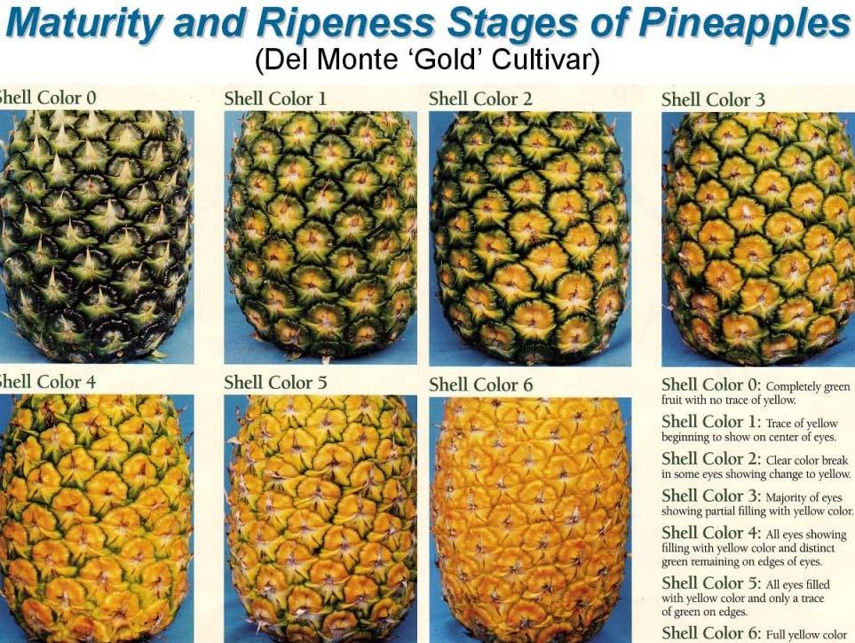 Indian Kew Pineapples and Composition at Different Stages of Ripeness Days from Anthesis