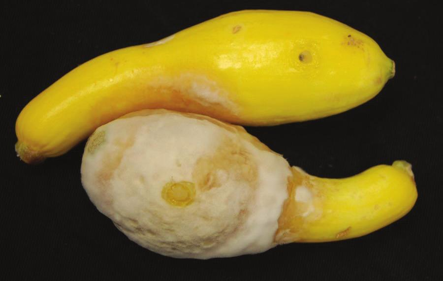 Sunken, dark, water-soaked areas appear in infected fruit and are rapidly covered by white fungal growth in yellow summer squash and zucchini (Figures 7 and 8).