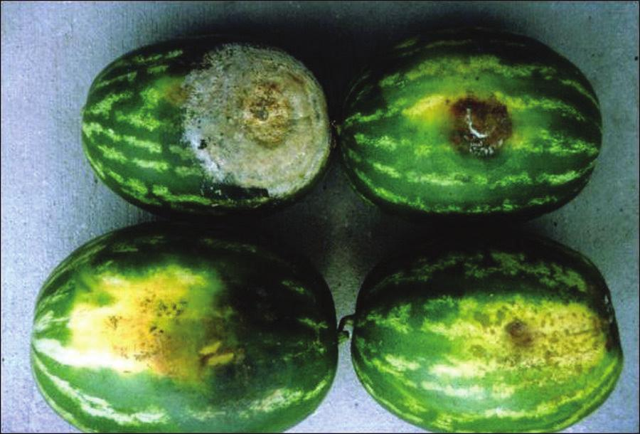 The entire fruit eventually decays. Initial symptoms of bacterial fruit blotch of watermelon are similar to those caused by P. capsici.
