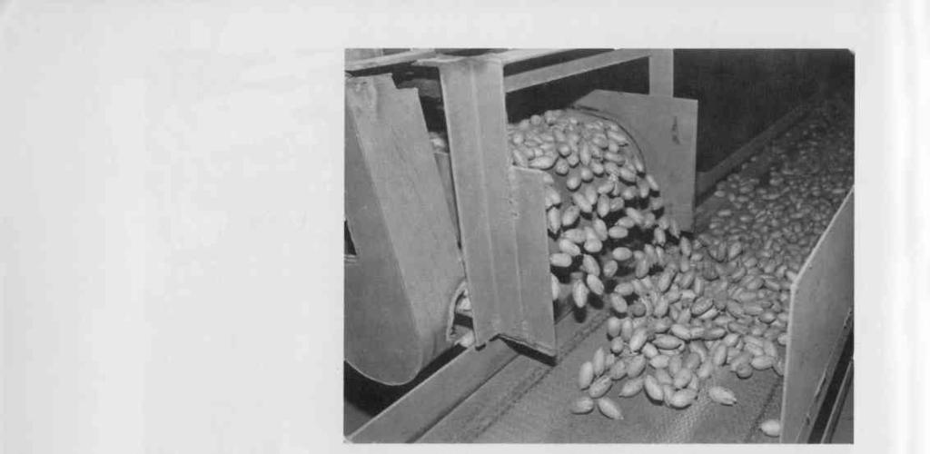 Above: Pecans pour out of processing -plant hoppers where they are sorted by size.