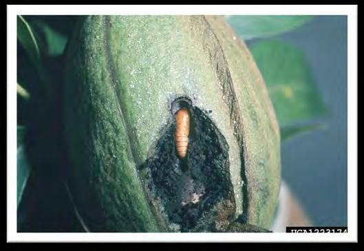 Hickory Shuckworm Damage Important late-season pest of pecans Larvae tunnel into the shuck interrupting the flow of nutrients and water