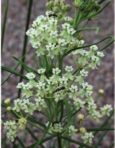 6 NATIVE MILKWEEDS OF OKLAHOMA Whorled milkweed Asclepias verticillata Number of counties where 58