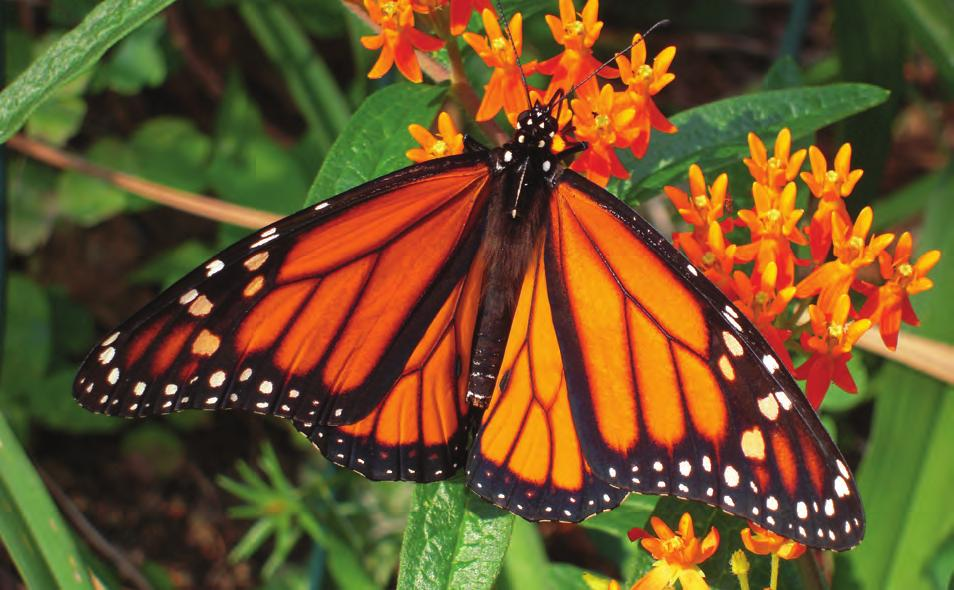 NATIVE MILKWEEDS OF OKLAHOMA 1 Introduction Monarch Butterfly (Danaus plexippus) populations have dropped dramatically in the central United States.