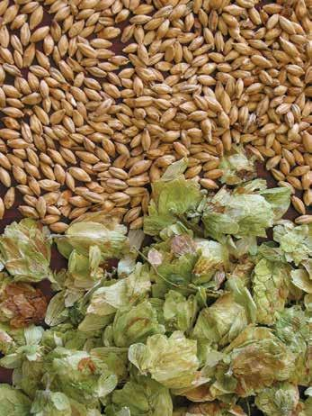 BEGINNER BREWING BEER Hops contain several characteristics that brewers desire in beer.