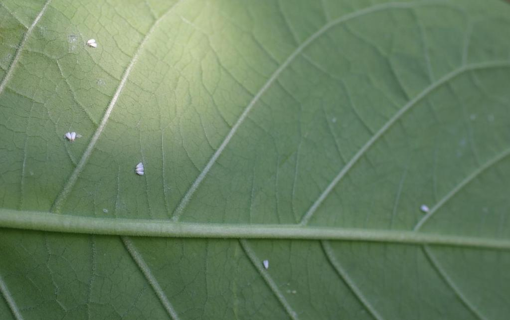 Greenhouse whitefly adults Small (1/16 inch long) insects