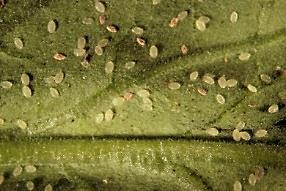Greenhouse Whiteflies Greenhouse whitefly pupae infected by the beneficial fungus Beauvaria bassiana on