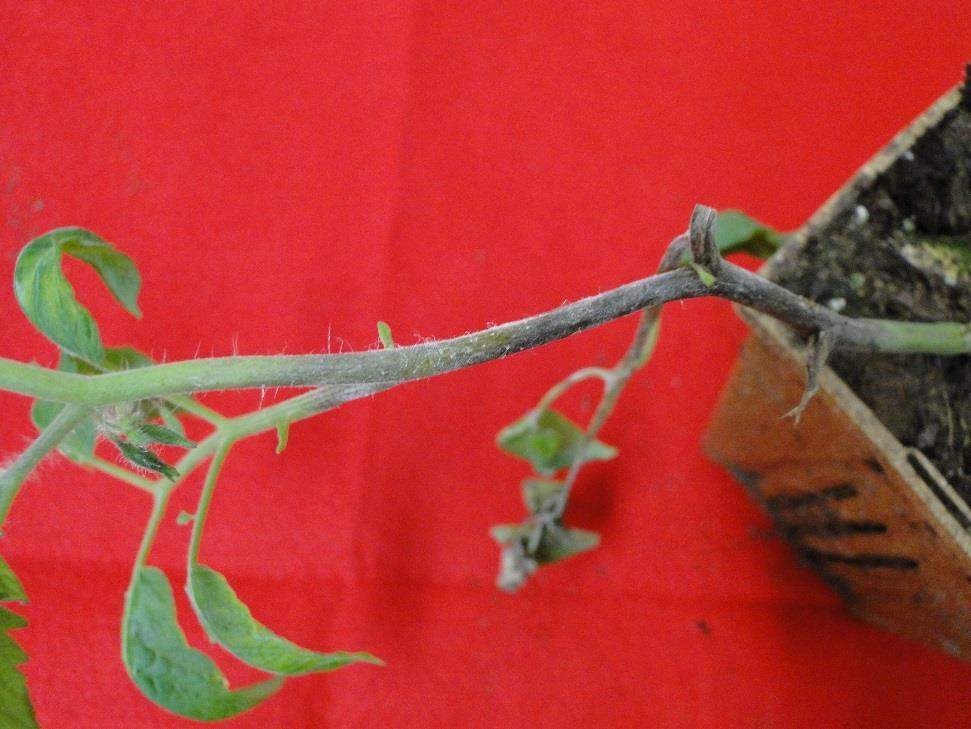 Late Blight on Tomato Y.