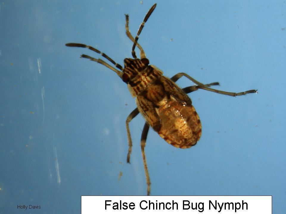 Brian McCornack and Wendy Johnson regarding false chinch bugs feeding on canola and young soybeans in central Kansas. This occurs every year, usually in southeast or central KS.