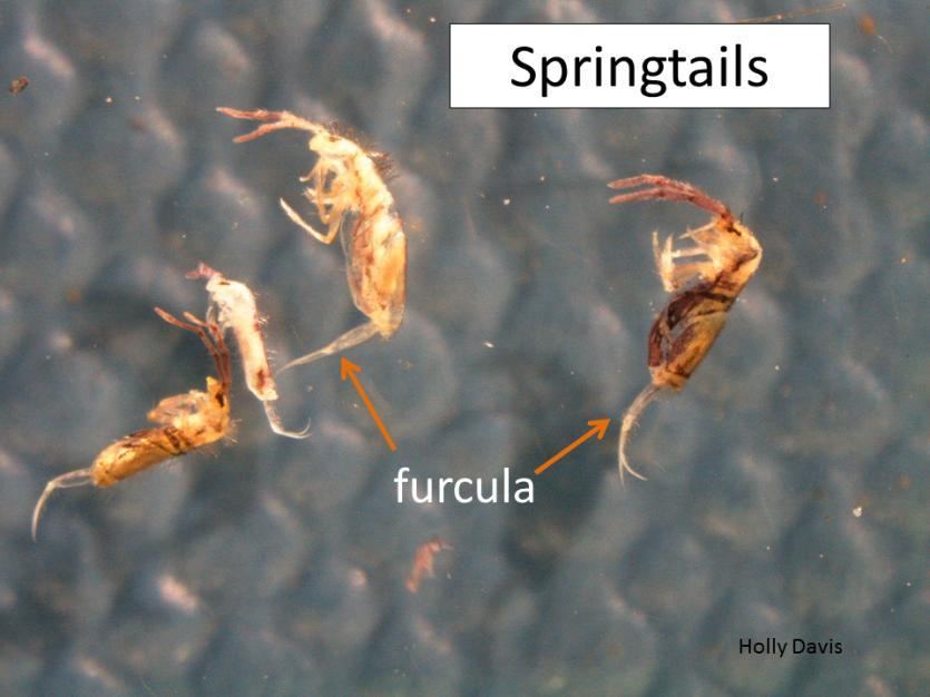 Springtails Springing Into Homes Many homeowners are concerned about tiny (1/16 inch long) white to purplish insects that are showing up suddenly in their homes by the hundreds to thousands.