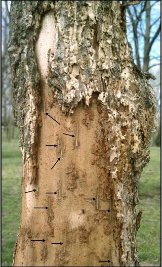 Yet another report was submitted: a dead elm tree. This was a rather easy diagnosis. As seen in Figure 5, there are numerous scattered small tiny round exit holes (referred to as shotholes).