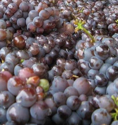 OSU Grape Powdery Mildew Management: An Integrated Approach- Brent