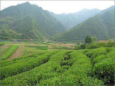 OUR ORGANIC TEA FARMS Shangyu Organic Tea Gardens: Quality Chinese tea blends from a strictly organic environment Established in 1992, our farmland is operated by tea experts with more than 30 years