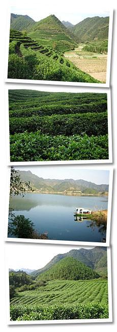 Location: Shangyu Graham Organic Tea Gardens is located North-eastern region of Zhejiang Province PRC. Between Hangzhou, Ningbo and Shanghai.
