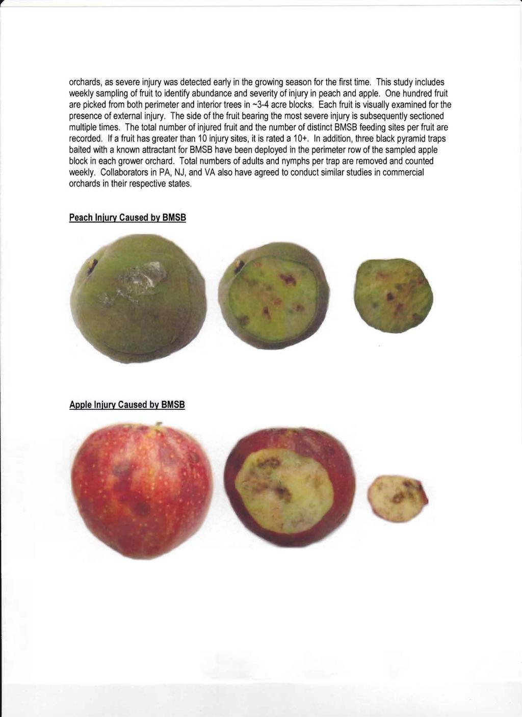 orchards, as severe injury was detected early in the growing season for the first time. This study includes weekly sampling of fruit to identify abundance and severity of injury in peach and apple.