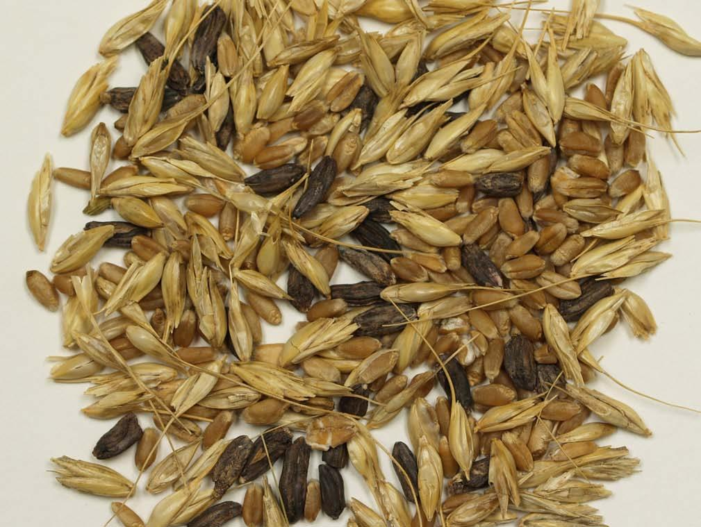 Ergot The ergot fungus, Claviceps purpurea, is endemic to the Great Plains wheat producing region of North America.
