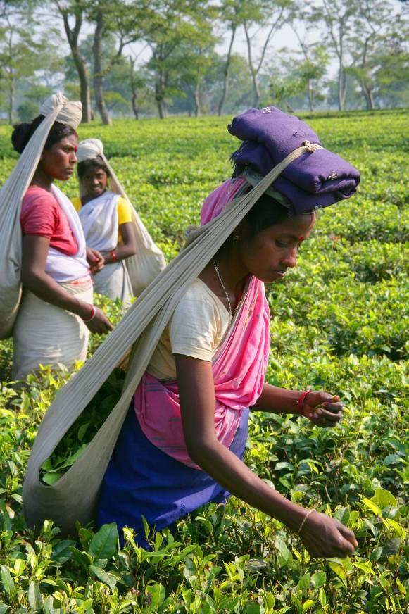 Intercrop vegetable crops between young tea also consider