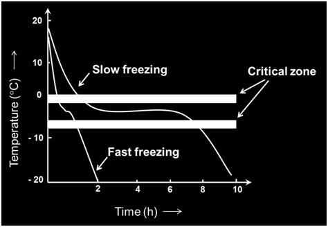 In slow freezing, less number of nuclei is formed and as a result of slow freezing more concentrated solution is left in inter-cellular spaces which causes osmotic effect and liquid comes out from