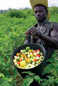 146 LOST CROPS OF AFRICA This is a resource that is easy to raise, relatively free of disease and pests, and capable of providing a steady supply of both food and income.