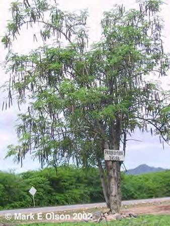 252 LOST CROPS OF AFRICA A rugged, resilient tree species, moringa tends to produce well in marginal growing conditions and is a reliable source of greens in seasons and locations where few other