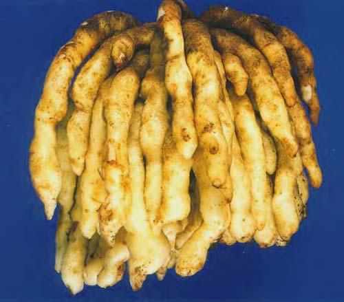 274 LOST CROPS OF AFRICA Tubers of native potatoes (here, Plectranthus esculentus) grow where a shortage of suitable vegetable crops now results in endemic malnutrition.