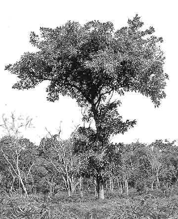 304 LOST CROPS OF AFRICA Traditionally, the large and treasured shea butter tree provided the primary edible vegetable fat to peoples inhabiting a vast tract of wooded grassland this is vulnerable to