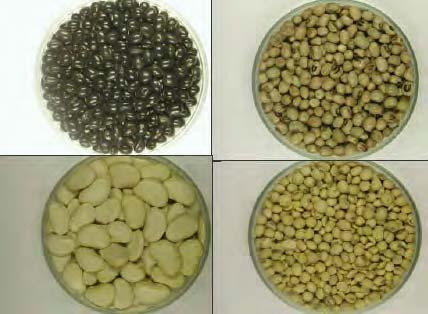 324 LOST CROPS OF AFRICA Seeds of three varieties of African yambean from farmers fields in Nigeria (soybean lower-right for comparison).