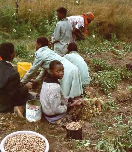 60 LOST CROPS OF AFRICA Manzini region, Swaziland. The family of Mrs. Fakudze (at back wearing headscarf) helps harvest the bambara crop. Like peanut, the plant forms pods and seeds underground.