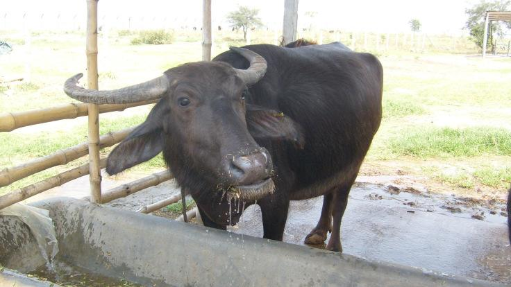 Philippines where the Carabao Center was created. Economy from DairyBuffalo in the far East.