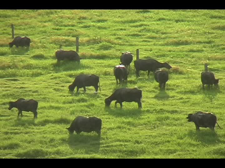 Economy from DairyBuffalo in Colombia In Colombia, with 250,000 buffaloes, the actual trend is to use buffalo for meat and milk production too.