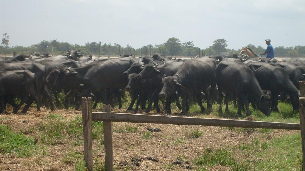 Economy from Dairy Buffalo in India India isthe first country in the world for number of buffalo (about 100 millions, 50% of total population) and for milk production ( more than 60 millions tonnes,