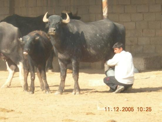 Economy from Dairy Buffalo in China Economy from Dairy Buffalo in China The total number of buffalo in China is about 24 million, the third largest population in the world, representing the 28.