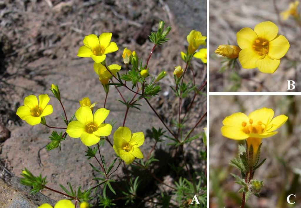 Felger et al: SW Arizona Flora, Pt. 18, Polemoniaceae 14 Linanthus in the traditional sense (e.g., Grant 1959; Patterson 1993) is not monophyletic.