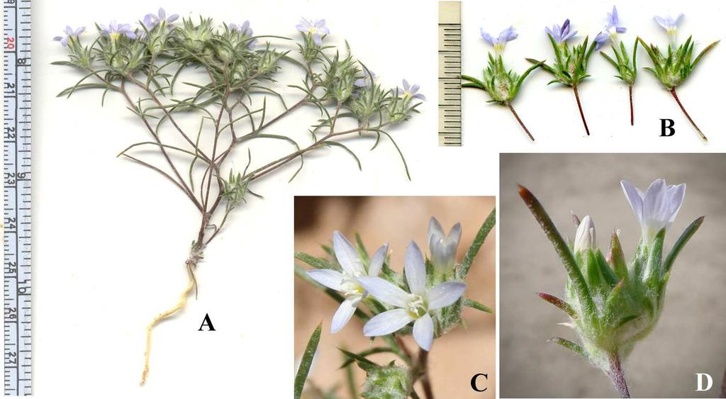 Felger et al: SW Arizona Flora, Pt. 18, Polemoniaceae 6 anthers 0.5 0.6 (0.8) mm long. Seeds mucilaginous when wet. The small flowers and small anthers suggest a selfing (autogamous) breeding system.