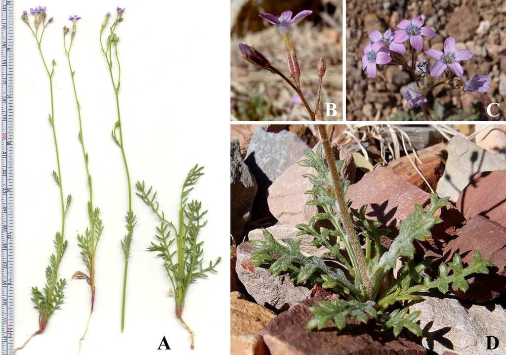 Felger et al: SW Arizona Flora, Pt. 18, Polemoniaceae 8 sinuses of the lobes or lower, the filaments equal or unequal, included or exserted.