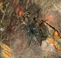 Pacific Flatheaded Borer Adults emerge April-July Lay eggs on bark Usually weak or