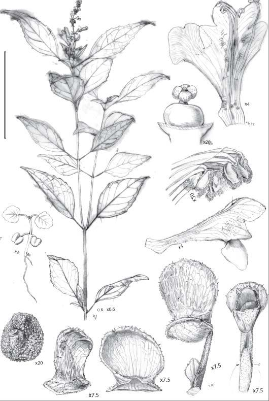 Scutellaria slametensis (Lamiaceae), a new species from Central Java, Indonesia Sudarmono and B.J. Conn. TELOPEA J. (2009) submitted Abstract The new species Scutellaria slametensis Sudarmono and B.J.Conn (Lamiaceae) from Gunung Slamet, Jawa Tengah, Indonesia is here described and illustrated.